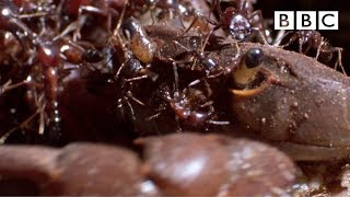 Ant army eats live crab from the inside out! - BBC