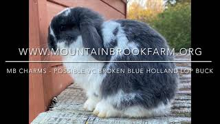MB Charms a possible VC broken blue Holland Lop buck