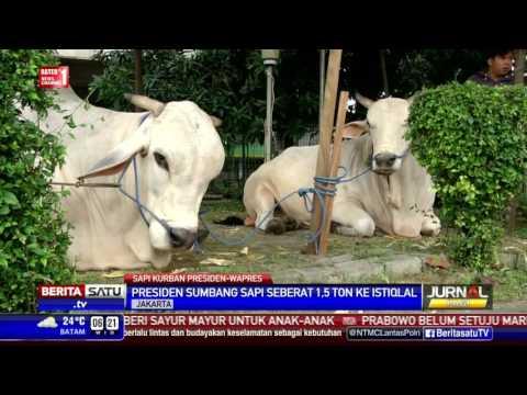 Jokowi-JK Sumbang Sapi Seberat 2,8 Ton Ke Masjid Istiqlal