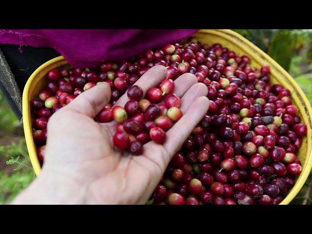 Kaffeerösterei Baruli in Peru auf der Bio-Plantage