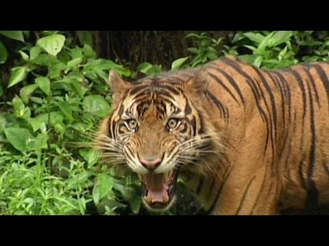 SUMATRAN TIGER - Vanishing Species