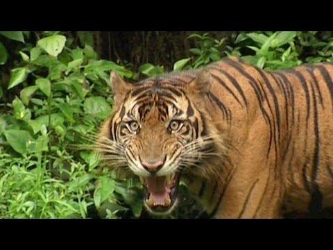 SUMATRAN TIGER - Vanishing Species