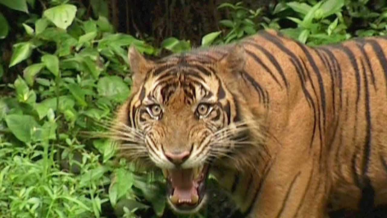 Sumatran Tiger Vanishing Species