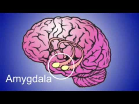 The amygdala: is were your suffering of anxiety starts ...
