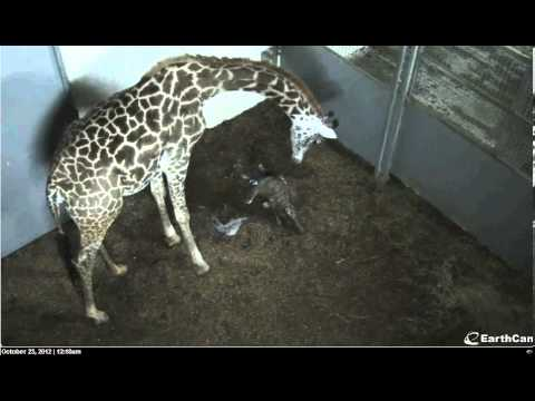 Thumbnail: The Birth of a Giraffe ! Autumn and Walter Become Parents on 10 22 2012