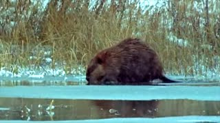 Beavers in the Snow | Beavers: Master Builder | BBC