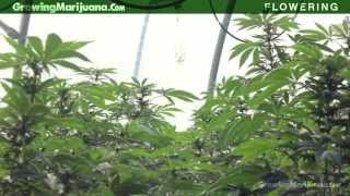Flowering - Flowering Marijuana - When To Flower Your Weed Growing Buds - 5