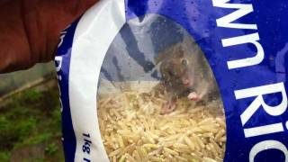 Wild Brown Mouse Caught In Brown Rice!