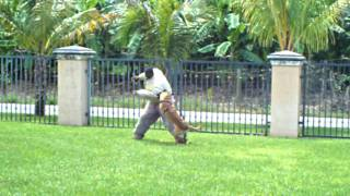 Attack Dog Training K9 Enforcement  Miami & Orlando - Malinois Female