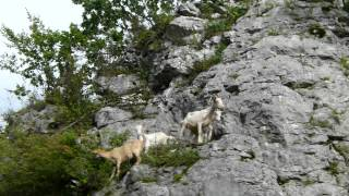 Kozy atakują... PODLESICE