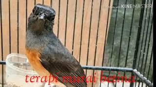 terapi MURAI BATU BETINA ..untuk pancingan MURAI JANTAN yg macet dan malas bunyi..
