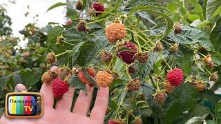 Только такая обрезка ремонтантной малины осенью позволяет получать огромные урожаи
