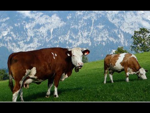Cattle Breeds E11 Simmental cattle - dual-purpose type from Austria - Simmentaler Fleckvieh Kühe
