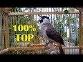 Dijamin Burung Anda Akan Ikut Gacor Mendengar Suara Kutilang Ini  Mp3 - Mp4 Download