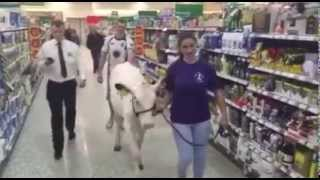 DUMFRIES & GALLOWAY FARMERS WALK COW INTO DUMFRIES MORRISONS TO RAISE AWARENESS OF MILK PRICES