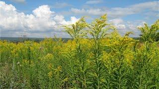 видео Борщевик: ядовитое растение, применение в народной медицине