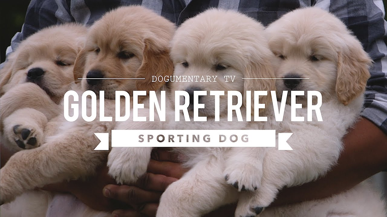 Golden Retrievers: How to Be Your Dogs Best Friend (101 Publishing: Pets Series)