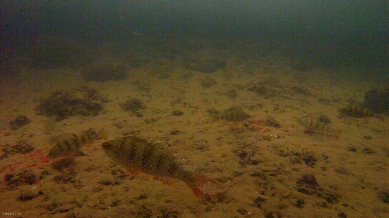 Ловля окуня на мормышку зимой, Подводные съемки