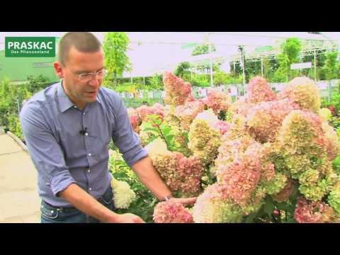 Hortensien | vielfältig - schön - wieder modern