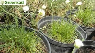 Армерия приморская  Альба    видео обзор от Greensad