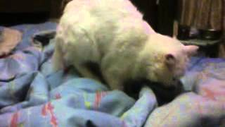 белый кот извращенец ,трахает одеяло, прикол ахах