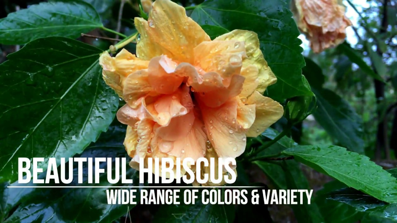Hibiscus Flower Youtube