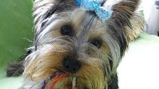 Yorkshire Terrier Tail Catcher