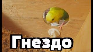 Лайма в гнезде. Пара волнистых попугаев  Разведение