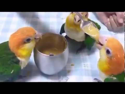 Funny Parrot  Videos Compilation-