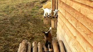 Holandská zakrsalá koza - prosinec 2011 (1)