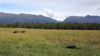 Windy Valley Musk Ox Farm in HD