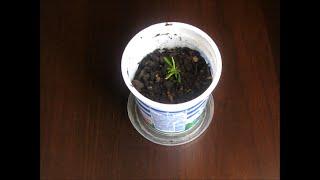 видео Как вырастить яблоню из семечка инструкция посадка уход