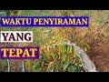 - TEKNIK PENYIRAMAN TANAMAN pohon durian cepat tumbuh besar