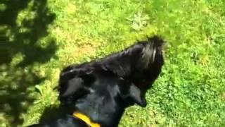 Crazy Rottweiler Vs Best Cairn Terrier