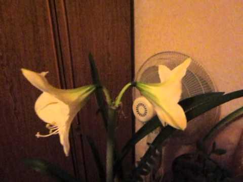 Амариллис белый в домашних условиях