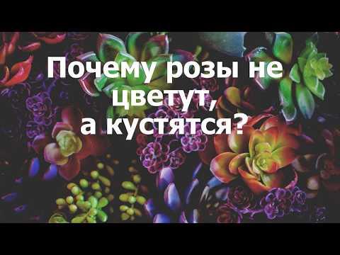 Почему розы не цветут, а кустятся?