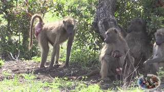 The Ugly Baboon Looking For Love
