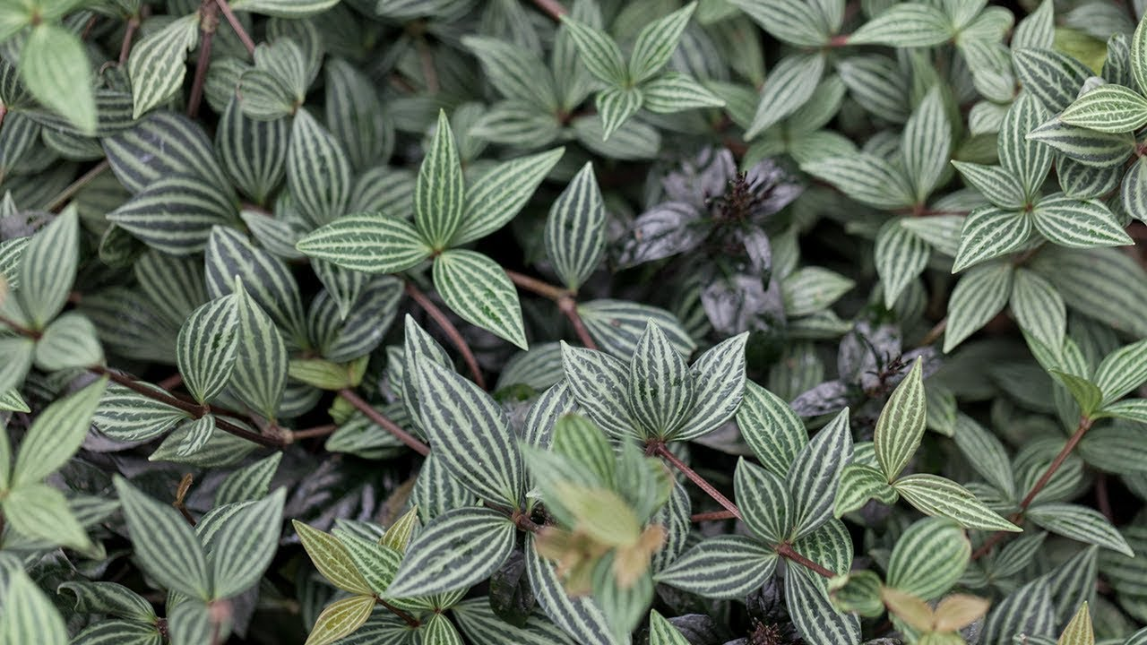 Peperomia (Radiator Plants): How to Grow and Care Guide on anthurium houseplant, mother of thousands houseplant, rubber plant houseplant, kalanchoe houseplant, bamboo palm houseplant, boston fern houseplant, corn plant houseplant, calathea houseplant, button fern houseplant, snake plant houseplant, ponytail palm houseplant, monstera houseplant, peace lily houseplant, wandering jew houseplant, syngonium houseplant, aloe houseplant, chinese evergreen houseplant,