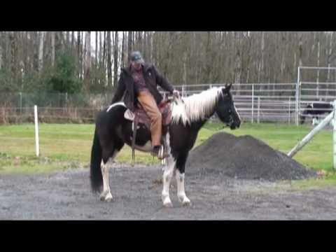 Flashy Spotted Mountain Horse Gelding For Sale Shadow