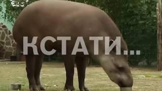 Тапир Клеопатра в нижегородском зоопарке угадывает результаты матчей