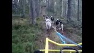 Spring training with tröll Cart in Swedish Lapland at Northernhuskies Sled Dogs kennel