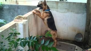 German Shepherd - 10 Months Old.