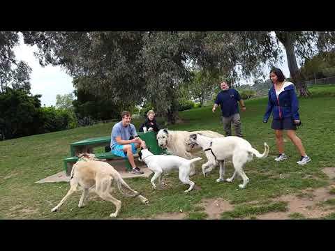 Running Irish Wolfhounds: Daisy Chaises Declan