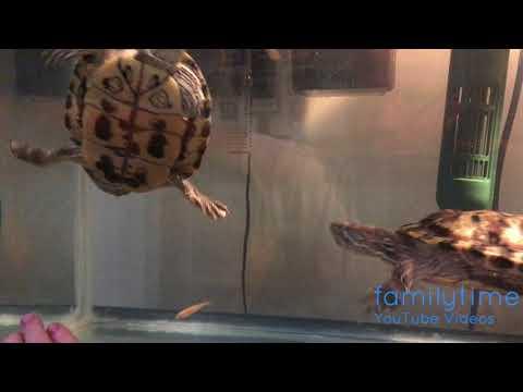 Turtle Feeding Day - Red Eared Slider