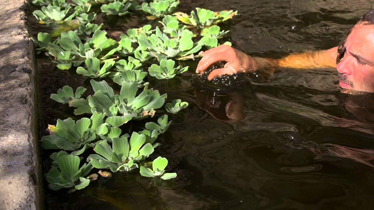 Plantas acuaticas flotantes y sus raices plantas for Raices ornamentales