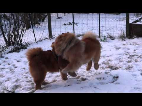 Two chow chow boys playing