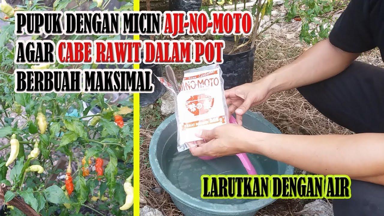 Menarik Pemberian Pupuk Micin Untuk Mendongkrak Pertumbuhan Cabe Rawit Dalam Pot Paling Baru