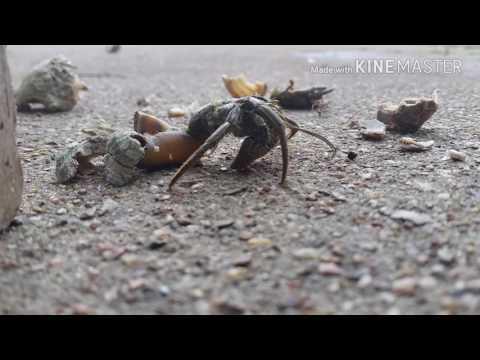 Extracting Hermit Crabs For Bait ( ALIVE )