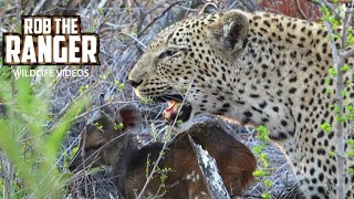 Two Leopards With A Live Bushbuck Fawn (Leopard Family, Part 28)