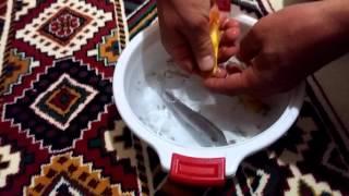 Damizlik Cİklet Kusturma, Akvaryum Balıkları